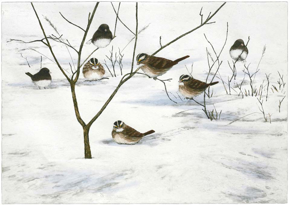 White-throated Sparrows & Juncos